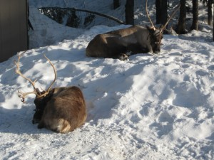 reindeer at grouse mountain