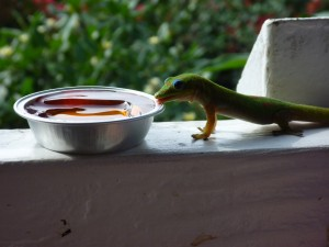feeding geckos jam at the coffee shack in hawaii