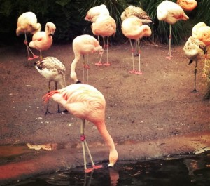 Baby flamingos at woodland park zoo