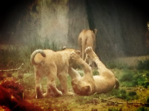 Baby animals at woodland park zoo visiting the lions