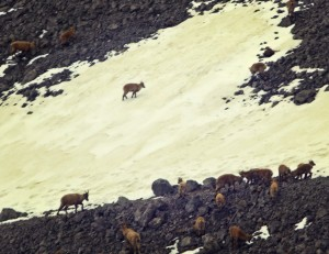 ibex on mount pilatus were just some of the animals you can see roaming around