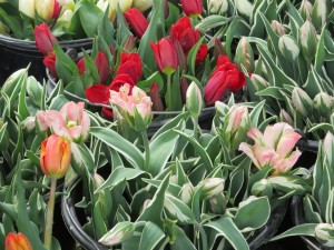 tulips in lucerne