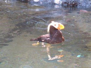 puffin at the point defiance zoo