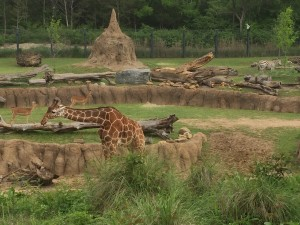 visiting the giraffes at Dallas Zoo with kids