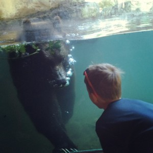 Grizzly bear swimming at woodland park zoo