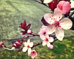 cherry blossoms in seattle