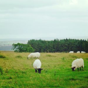 Sheep on the way to Scotland