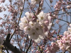 Spring Cherry Blossoms in Seattle