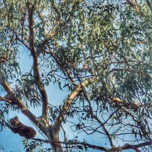 Driving with kids and looking for Koalas on the great ocean road