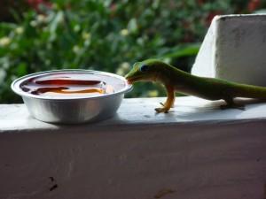 feeding geckos jam at the coffee shack in hawaii