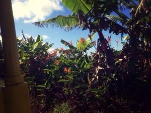 scenery at dole plantation