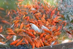 koi fish at dole plantation