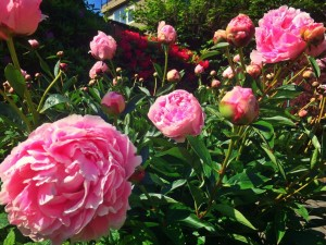 peonies blloming in my garden
