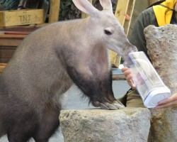 aardvark at Point Defiance Zoo where kids can get close up to animals