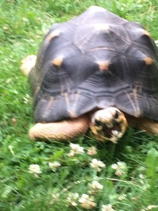 turtle eating clover at Tacoma Zoo