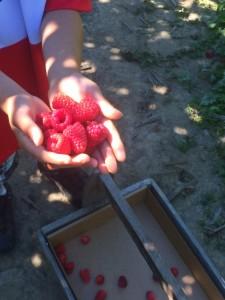 picking berries at remlinger farm in Carnation Washington