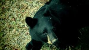 bear under blackcomb chairlift