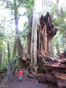 big cedar tree on the Olympic Peninsula