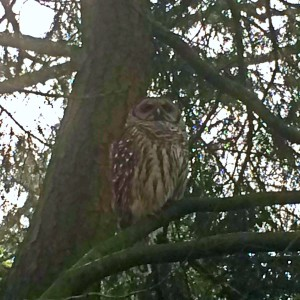 wild owl at the woodland park zoo