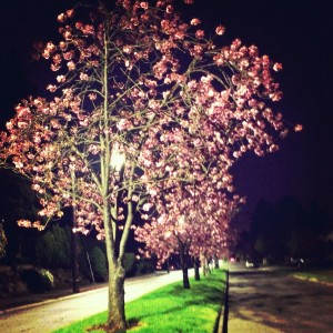 cherry blossoms at night in seattle