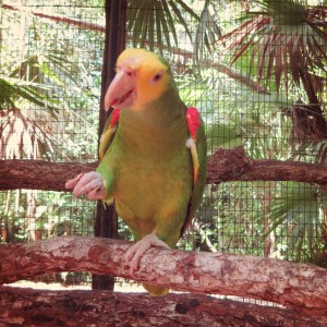 rare green parrot at the Belize Zoo