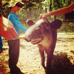 tapir at the Belize Zoo