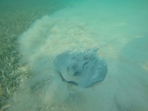 ray spotted near south water caye