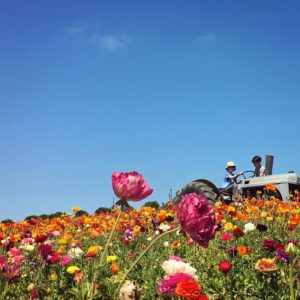 Carlsbad flower fields are next to Legoland hotel in California