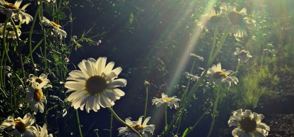 Summer days and daisies in the pacific northwest