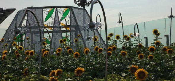 Sunflowers at singapore's Changi airport