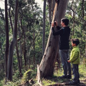 Looking for koalas in the wild in a eucalyptus forest on the Great Ocean Road